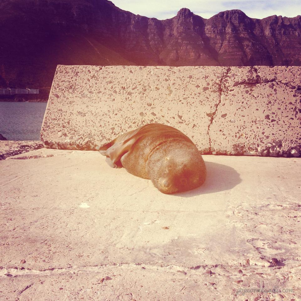 Seals Hout Bay