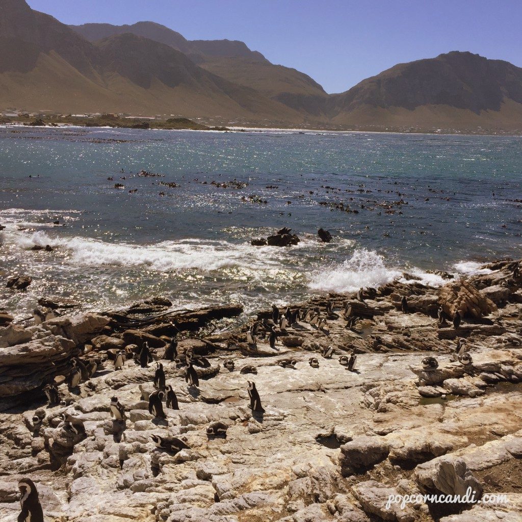 Penguins in Bettys Bay